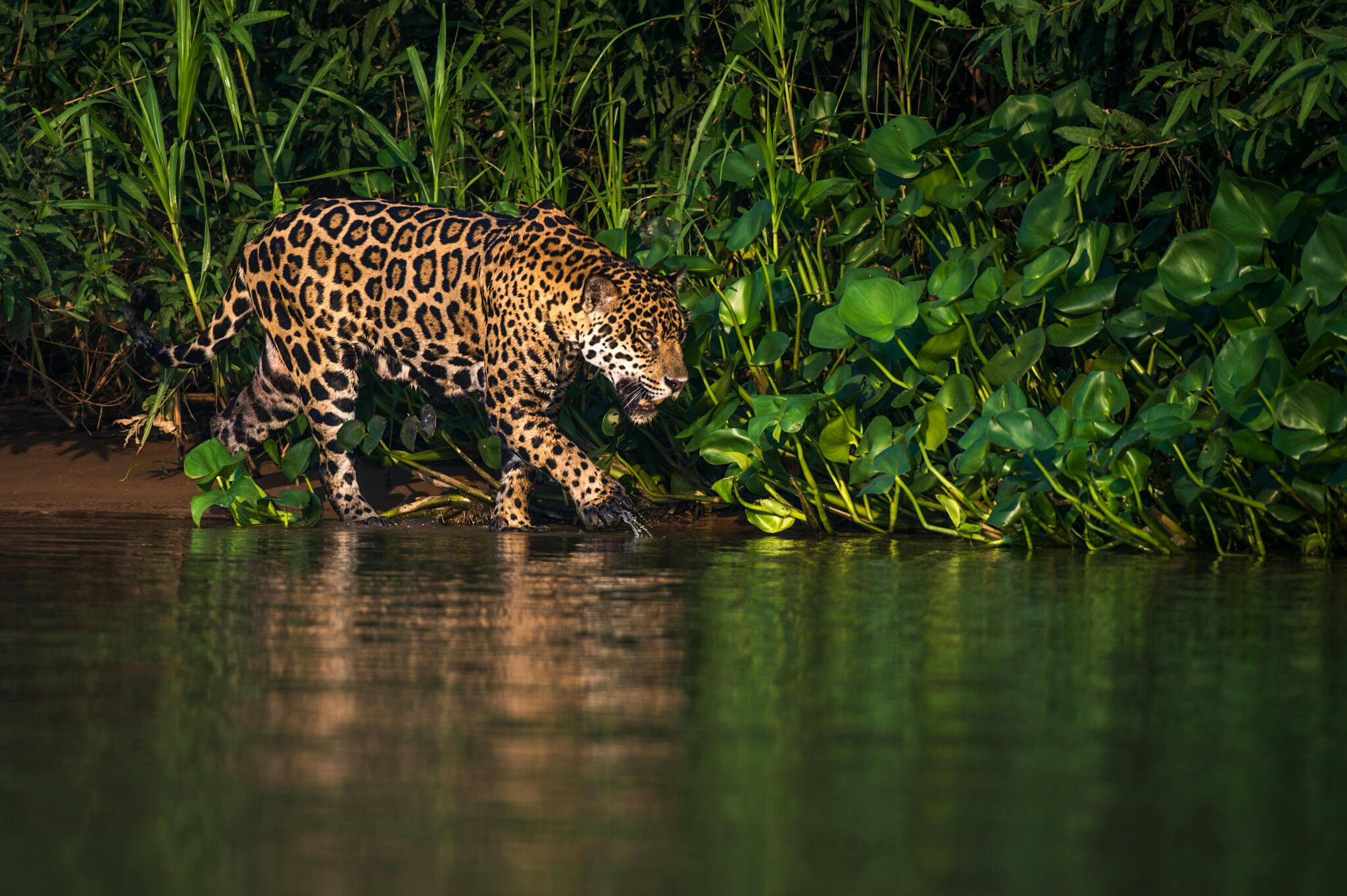 Roos Jaguar