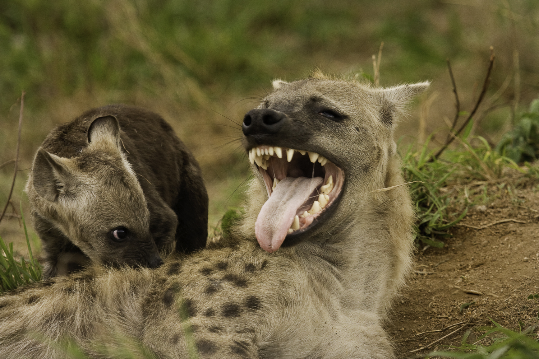 Atterdal Hyena med unge