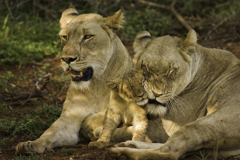 Atterdal Lejon gosar med unge
