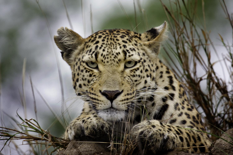 Atterdal Leopard